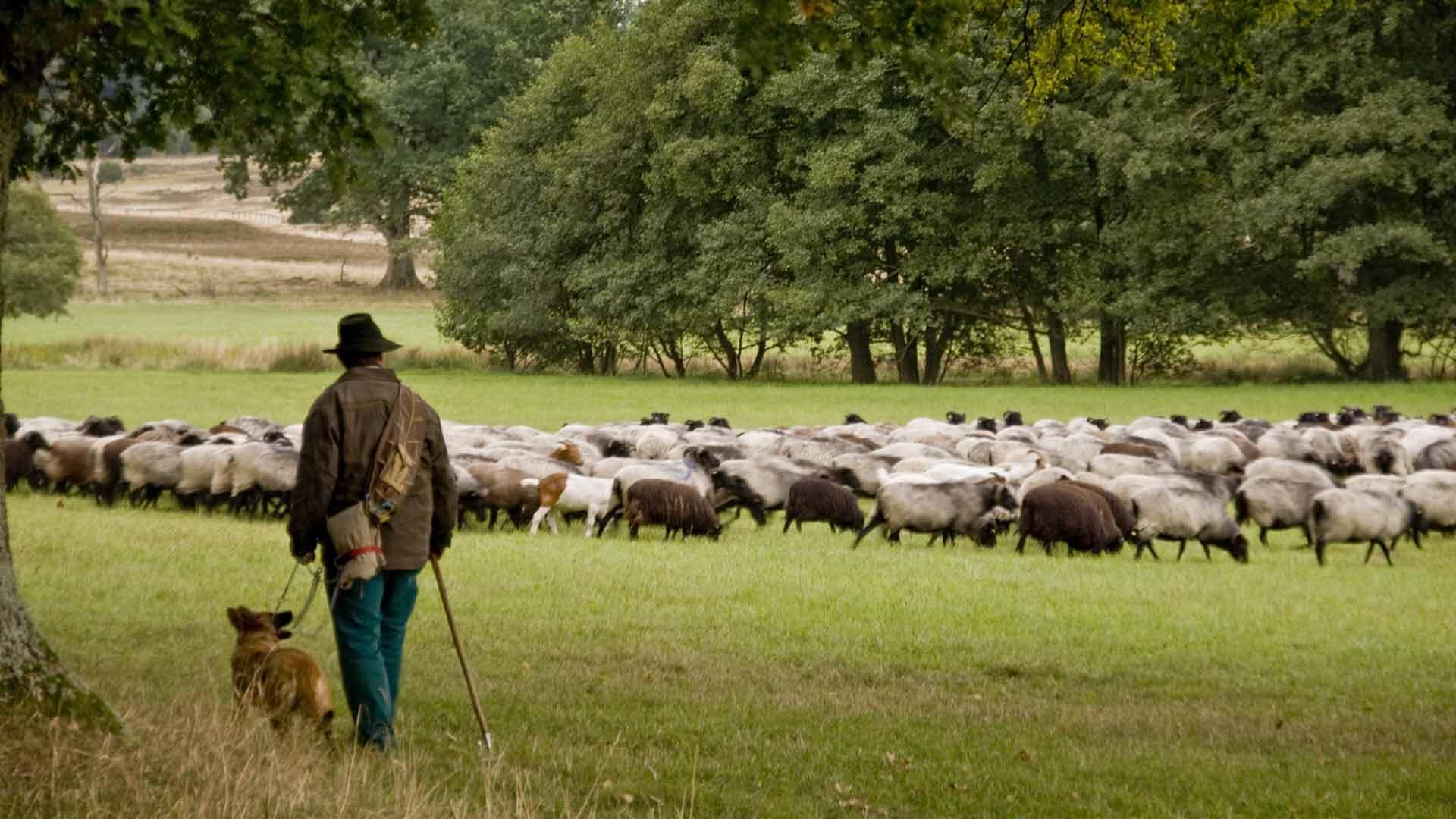 Luneburger-heide-herder-F-9536947-c-crimosn