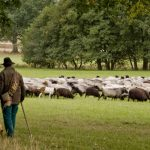 De typische schapen op de Lüneburger Heide kom je vast tegen tijdens een groepsreis op de Lüneburger Heide.