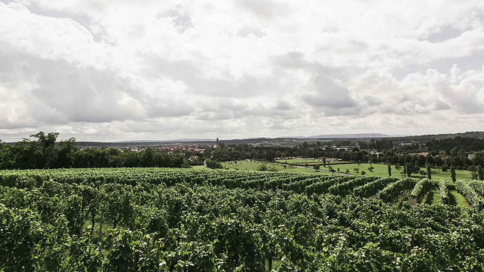 Langs de Main liggen uitstrekte wijnbergen.