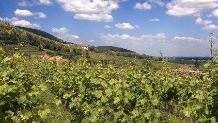 Fietsvakantie in de Pfalz langs wijnbergen.