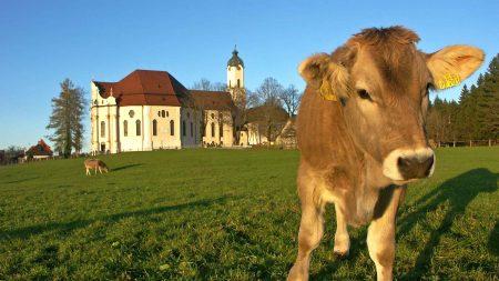 Als je gaat fietsen in Beieren kom je overal koeien tegen. Ook bij de baroke Wiesskirche.