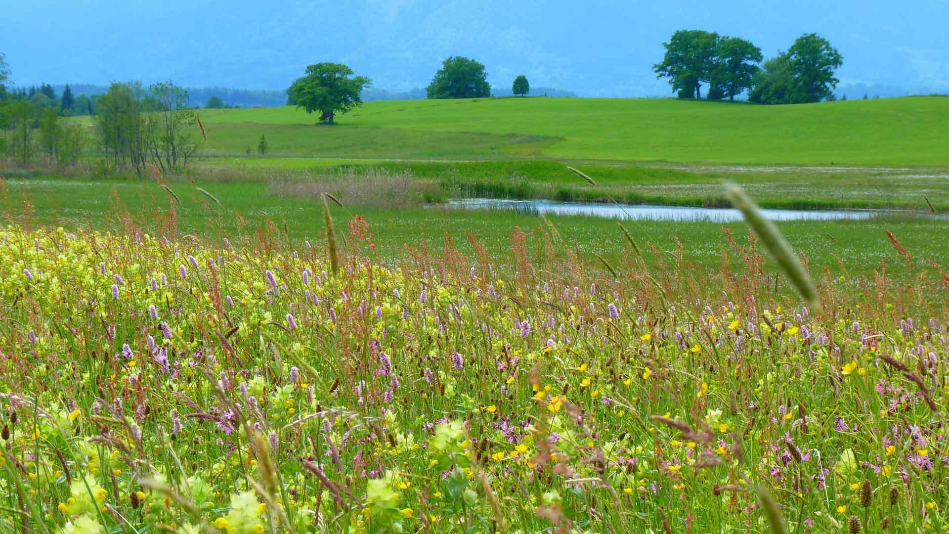 Bloemenweides bij de Staffelsee.