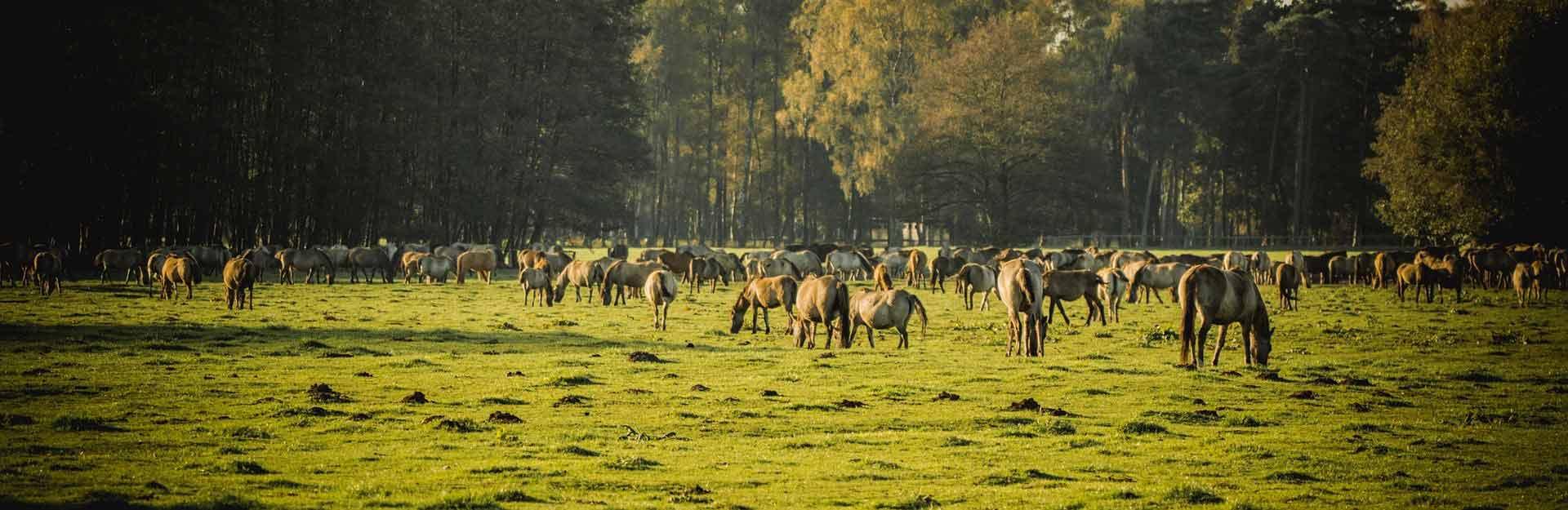 Bij Dülmen in Natuurpark Hohe Mark vind je een kudde wilde paarden.