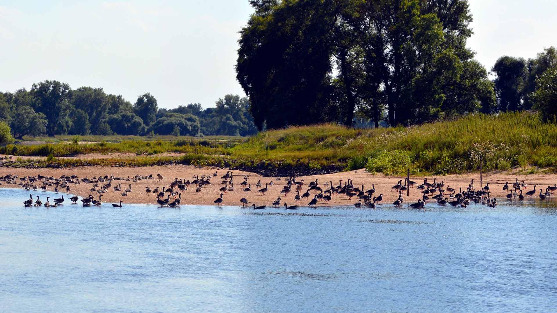 Tijdens de vogeltrek in het voorjaar en de herfst strijken er veel vogels in het waterrijke gebied langd de Elbe neer.