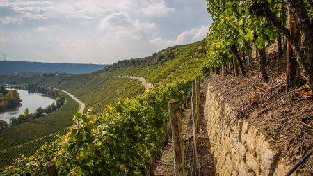 Hessigheim ligt in het wijngebied langs de Neckar.
