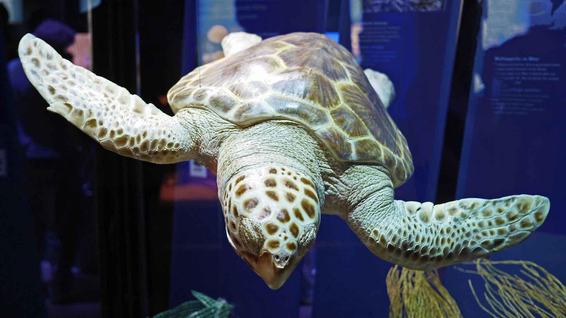 In het Ozeaneum in Stralsund kun je grote zeeschildpadden bewonderen.
