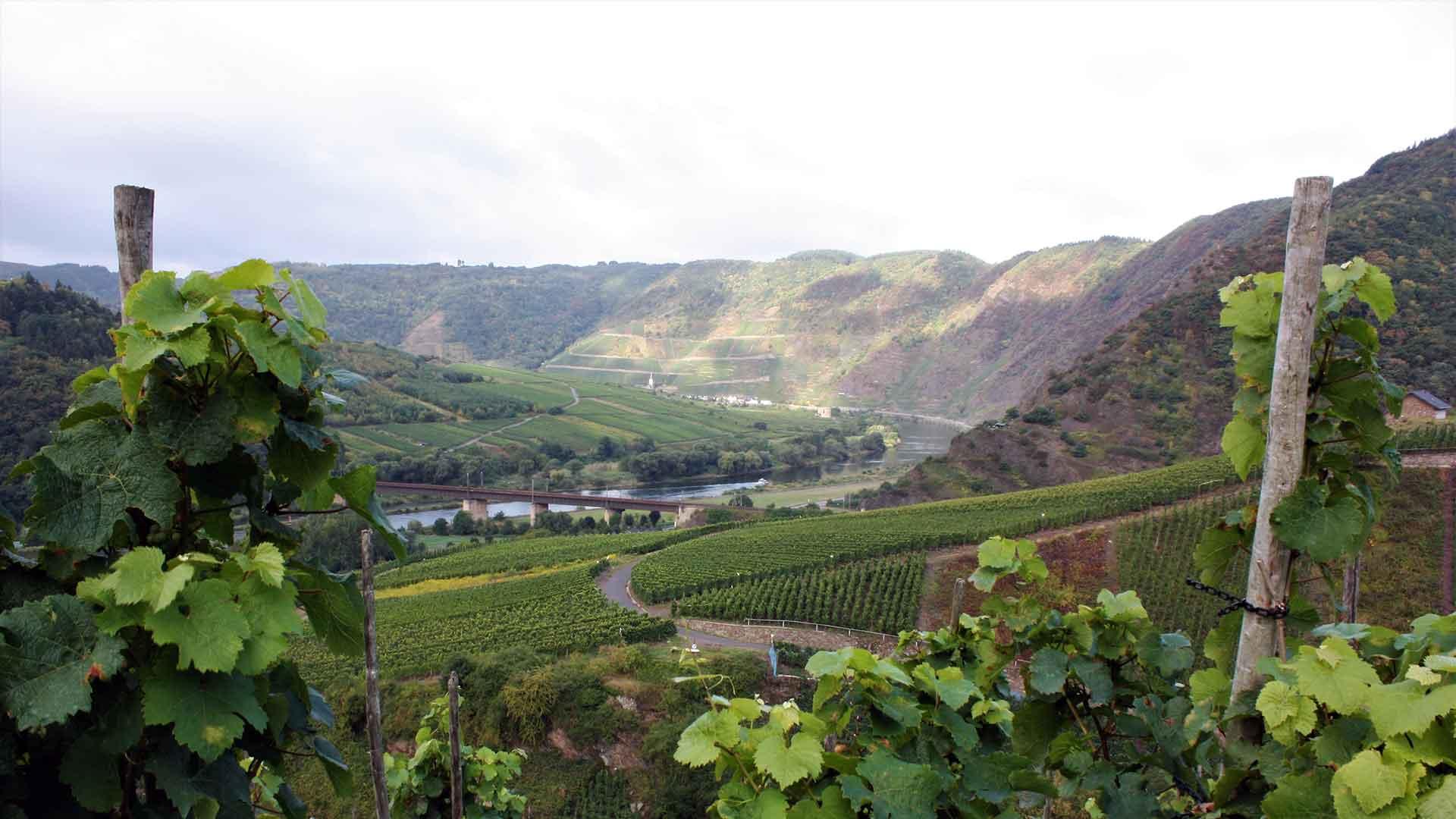 Uitzicht over de wijnbergen tijdens een fietsvakantie langs de Moezel.