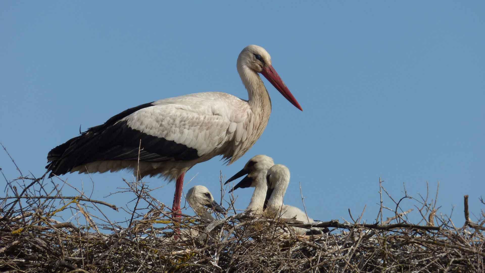 In het UNESCO biosfeerreservaat Flusslandschaft Elbe komen erg veel ooievaars voor.