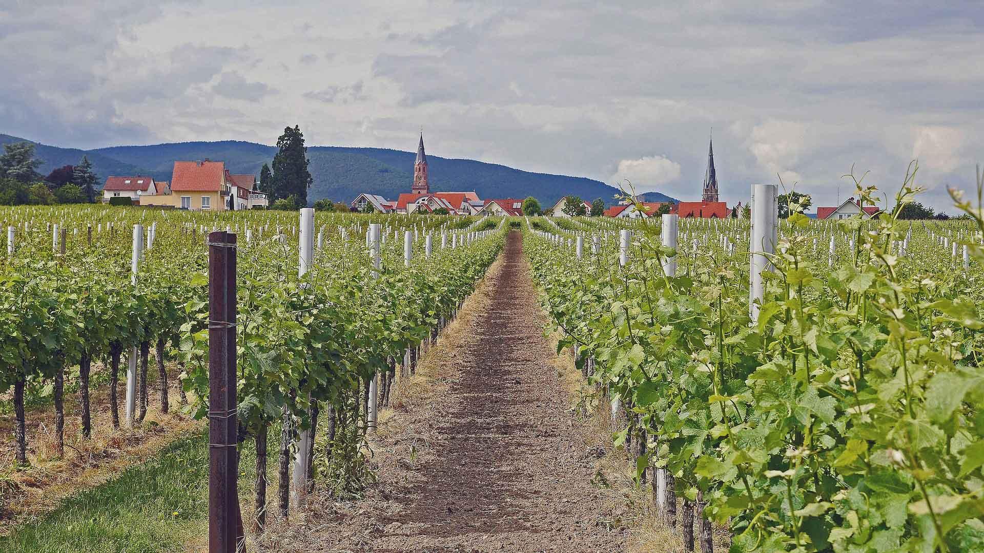 Tijdens deze fietsvakantie in de Pfalz fiets je veel tussen de wijnbergen.