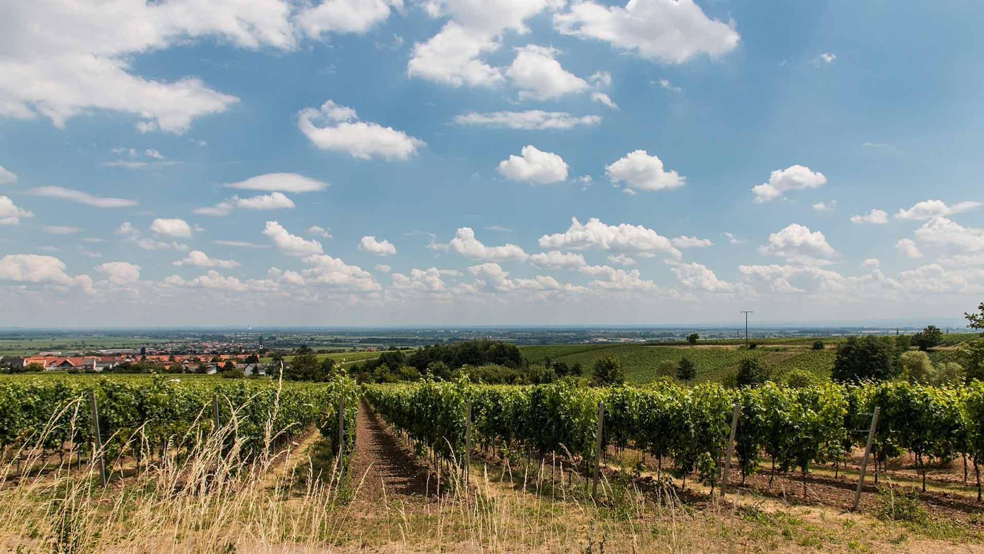 De wijnbergen rondom Maikammer in de Pfalz.