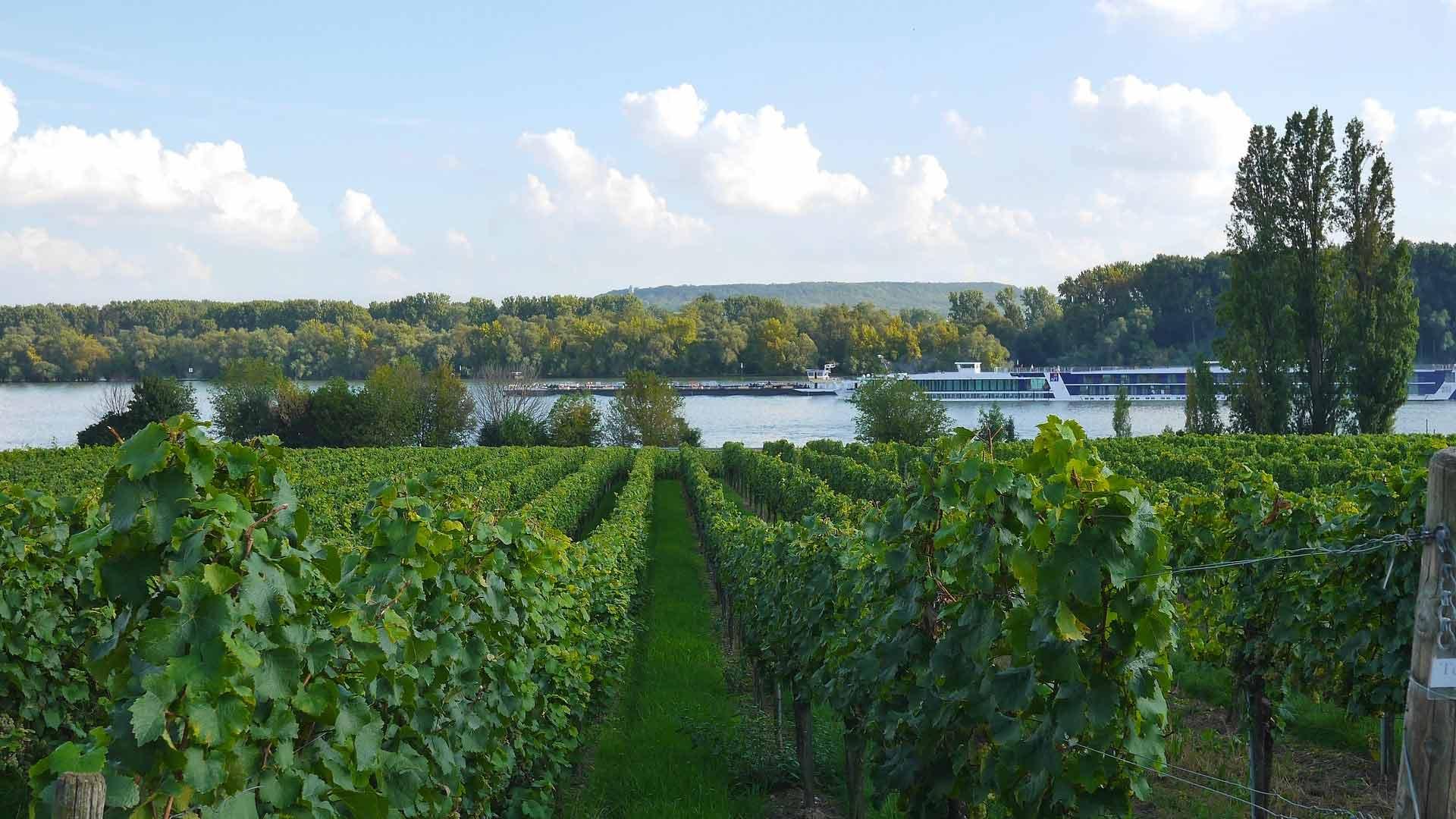 De wijnbergen lopen tot aan de Rijn.
