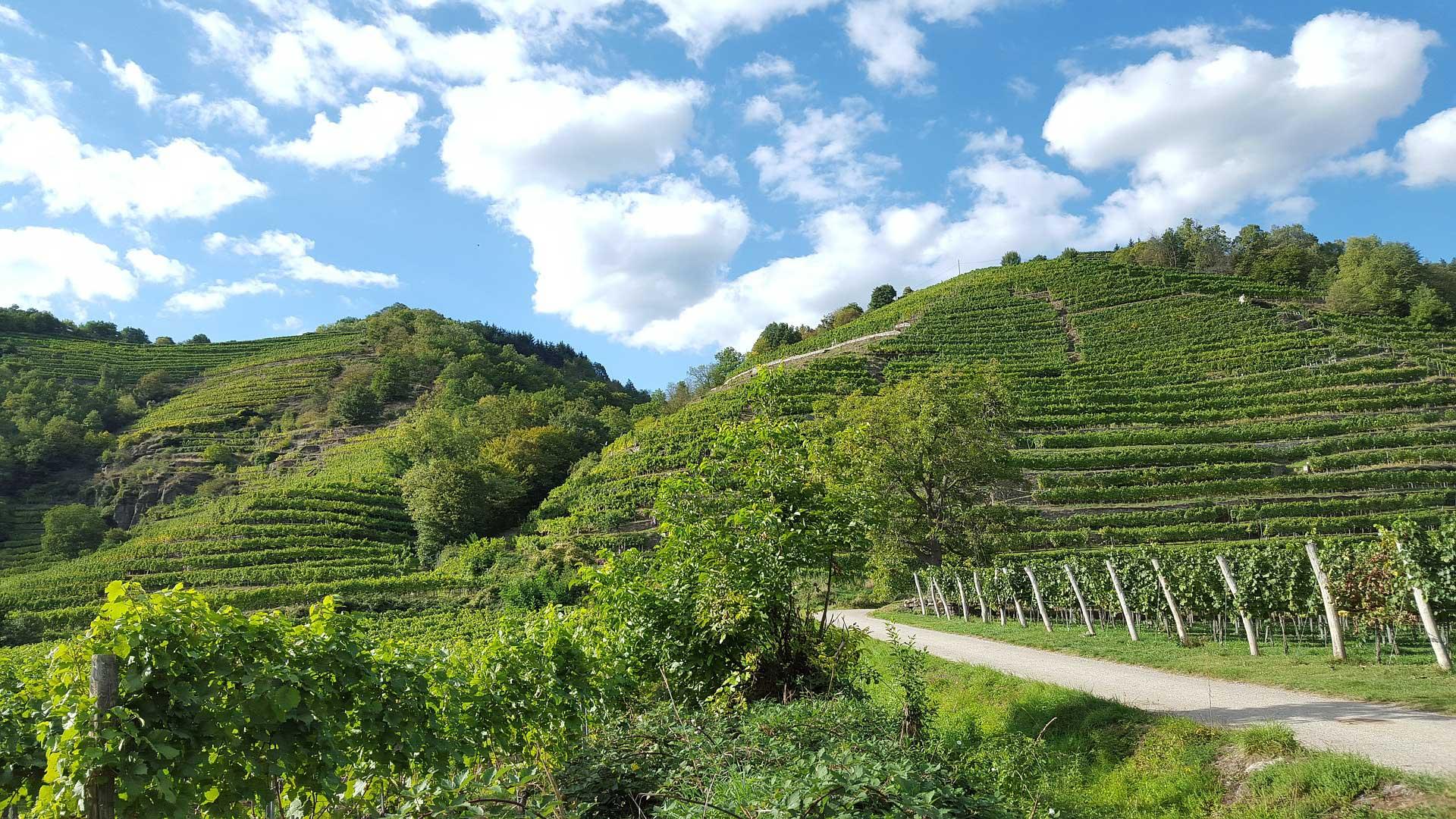 Wijngaarden langs de Donauradweg